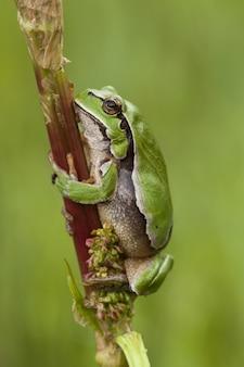 Pionowe selektywne ujęcie żaby drzewnej siedzącej na gałęzi z zielonym tłem