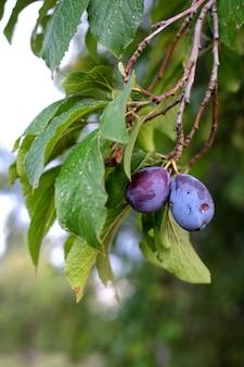 Pionowe strzał z gałęzi owocowych śliwki