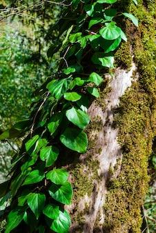 Pionowe tło - bluszcz kolchisowy na suchym, omszałym pniu drzewa