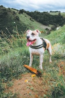 Pionowe ujęcie amerykańskiego pit bull terriera stojącego w pięknym zielonym polu w ciągu dnia
