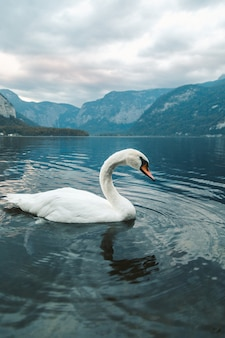 Pionowe ujęcie białego łabędzia pływania w jeziorze w hallstatt. austria