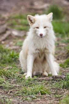 Pionowe ujęcie białego lisa siedzącego na trawie na zewnątrz