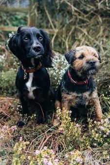 Pionowe ujęcie border terriera i spaniela siedzącego na suchej trawie