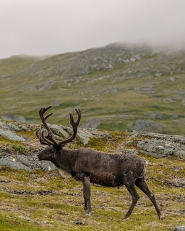 Pionowe ujęcie brązowego łosia na łące na wzgórzach