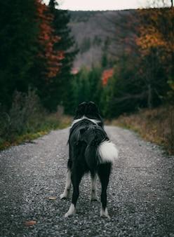 Pionowe ujęcie czarnego border collie na drodze otoczonej lasami