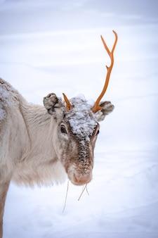 Pionowe ujęcie jelenia z jednym rogiem i śnieżnym tle