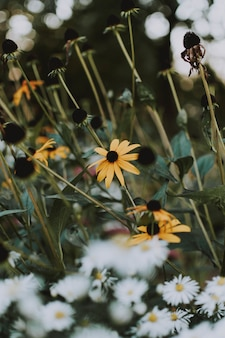 Pionowe ujęcie kwiatów rudbeckia hirta rosnących w polu obok stokrotek