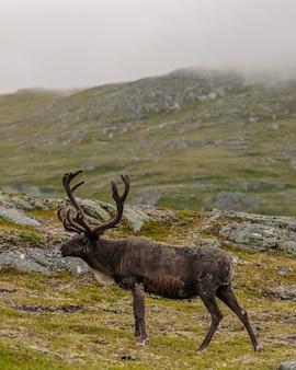 Pionowe ujęcie łosia pasącego się na górskim krajobrazie