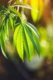 Pionowe ujęcie młodych liści marihuany pod promieniami słońca