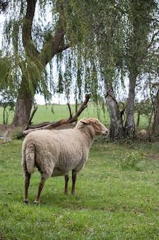 Pionowe ujęcie owcy w przyrodzie