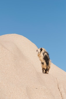 Pionowe ujęcie owłosionej lamy na pustynnej wydmie
