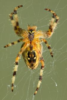 Pionowe ujęcie pasiastego pająka na pajęczej sieci