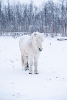 Pionowe ujęcie pięknego białego konia w zaśnieżonym polu na północy szwecji