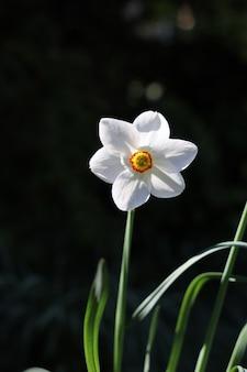 Pionowe ujęcie piękny biały narcyz