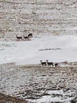 Pionowe ujęcie pod wysokim kątem grupy jeleni w zaśnieżonej dolinie