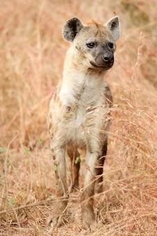 Pionowe ujęcie pojedynczej afrykańskiej hieny cętkowanej w południowoafrykańskim safari