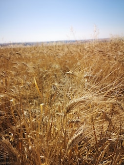 Pionowe ujęcie pola pszenicy w świetle słonecznym