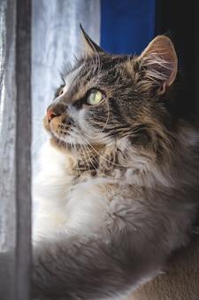 Pionowe ujęcie puszystego kota rasy maine coon przy oknie