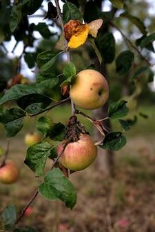 Pionowe ujęcie pysznych jabłek na drzewie, w ogrodzie w ciągu dnia