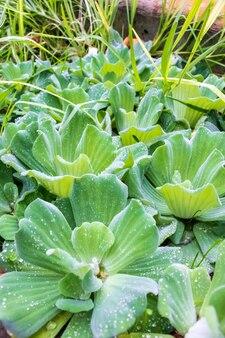 Pionowe ujęcie roślin pistia rosnących obok siebie
