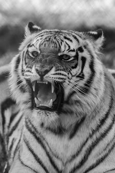 Pionowe ujęcie ryczącego białego tygrysa w skali szarości