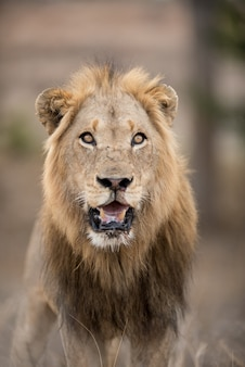 Pionowe ujęcie samca lwa z rozmytym tłem
