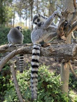 Pionowe ujęcie ślicznych lemurów katta grających na drzewie w parku