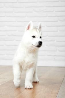 Pionowe ujęcie słodkie puszyste siberian husky szczeniaka spaceru w pomieszczeniu zwierzęta domowe koncepcja.