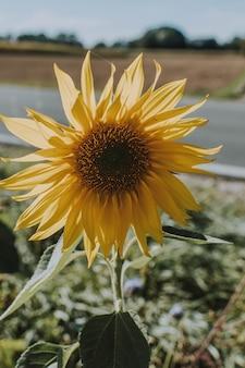Pionowe ujęcie słonecznika rosnącego na poboczu drogi w jasny, słoneczny dzień
