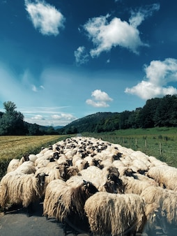 Pionowe ujęcie stada owiec na środku drogi w otoczeniu zieleni