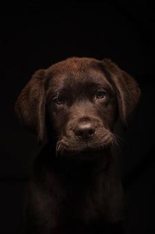 Pionowe ujęcie uroczego szczeniaka czekoladowego labradora na czarnym tle
