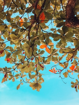 Pionowe ujęcie zielonych i brązowych liści drzewa w brazylii na tle błękitnego nieba