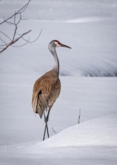 Pionowe ujęcie żurawia sandhill na zaśnieżonej ziemi