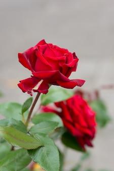 Pionowe zbliżenie czerwonych róż w słońcu z rozmytym tłem