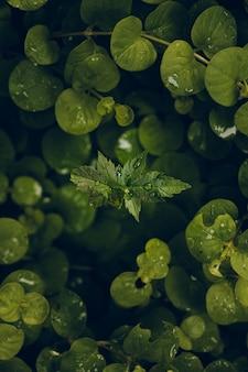 Pionowe zbliżenie kropli wody na zielonych liściach
