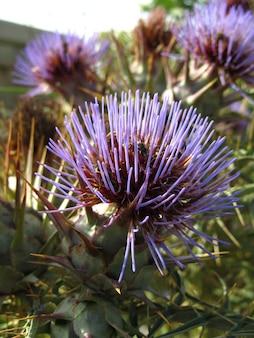 Pionowe zbliżenie kwiatów dzikiego karczocha schwytanych na malcie