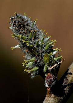 Pionowe zbliżenie kwitnącej wierzby na drzewie