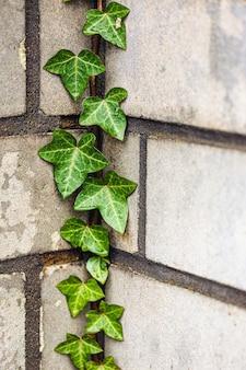 Pionowe zbliżenie liści bluszczu na ścianie w świetle słonecznym w ciągu dnia
