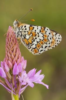 Pionowe zbliżenie marmurkowatego białego motyla na różowym kwiatku przed rozmytym