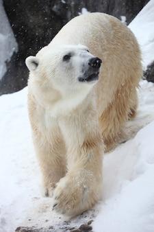 Pionowe zbliżenie niedźwiedzia polarnego w promieniach słońca podczas opadów śniegu