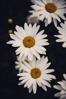 Pionowe zbliżenie pięknych kwiatów stokrotek