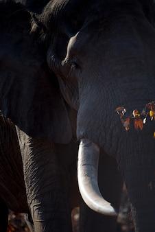 Pionowe zbliżenie strzał ogromnego słonia afrykańskiego