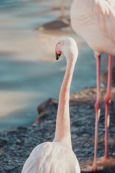 Pionowe zbliżenie strzał pięknego flaminga