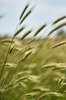 Pionowe zbliżenie strzał pszenżyta roślin