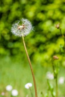 Pionowe zbliżenie strzał z mniszka lekarskiego otoczonego zielenią w polu pod wpływem promieni słonecznych
