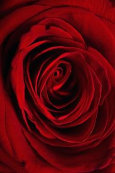 Pionowe zbliżenie strzał z piękną czerwoną różą