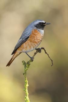 Pionowe zbliżenie strzał z wschodniej bluebird siedzący na gałęzi z rozmytym tłem