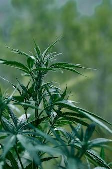 Pionowe zbliżenie strzał zielonych roślin konopi