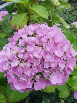 Pionowe zbliżenie strzału różowych kwiatów hortensji w pełnym rozkwicie
