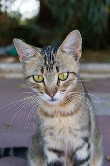 Pionowe zbliżenie szarego kota wpatrującego się w kamerę zielonymi oczami